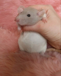 Beautiful and young female Dumbo Rat