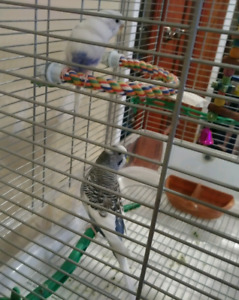 Beautiful pair of budgies and Vision cage