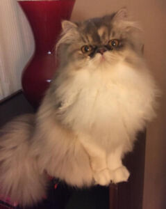 Loving Purebred Persian Kitten