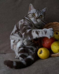 Scottish Fold & Straight pure breed for sale