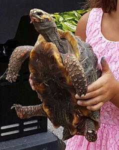 Adult Tortoise 4 Sale