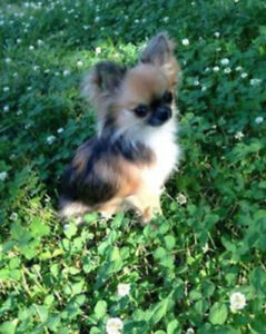 Looking for long hair chihuahua puppy