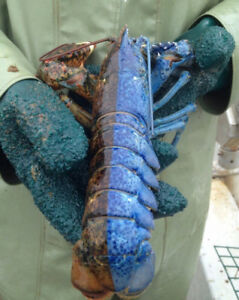 Looking to Buy a Fall Lobster Licence LFA 25 PEI