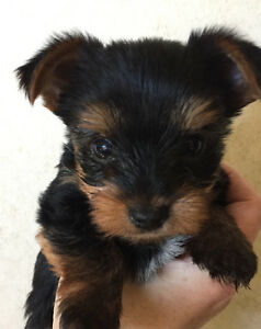 Yorkie puppies! Ready this weekend