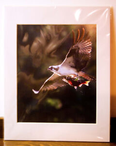 Osprey with Salmon in Talons - Professional and matted photo