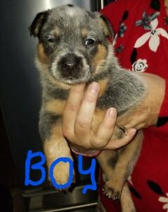 Pure Bred Australian Blue Heeler Cattle Dog Pups