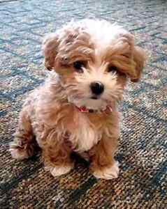 COCKAPOO PUPPY WANTED