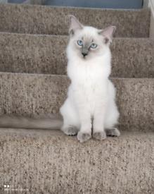 Beautiful Ragdolls Kittens