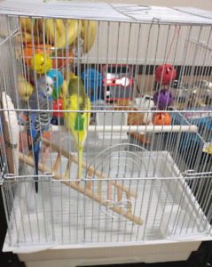 2 Budgies with cage very nice color for sale
