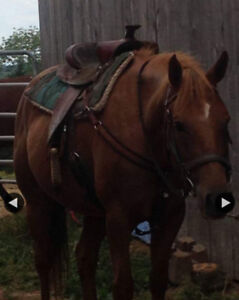 5 year old Appy quarter horse mare