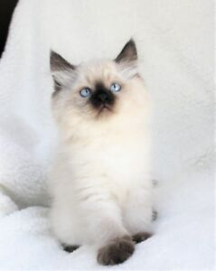 Fluffy Ragdoll kittens are available for their new homes,.