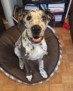 Pure Great Dane Puppy, 5 Months Old, Vetted and Vaccinated