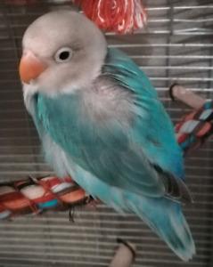 Petite femelle fisher turquoise