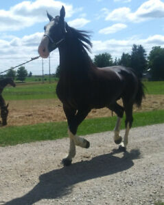 Big fancy gelding