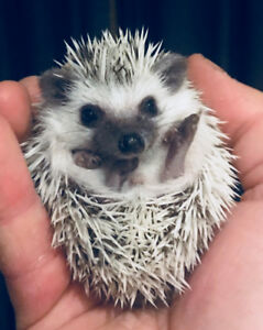 Very tame and adorable baby African Pygmy Hedgehogs!