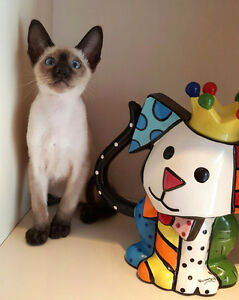 Male seal point siamese kitten looking for new home!!!!!!!!!!