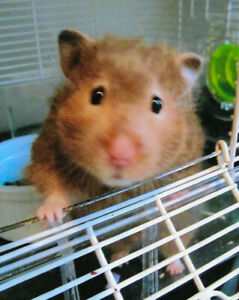 Female Syrian Hamster, 2 Cages and Ball  $35 for all