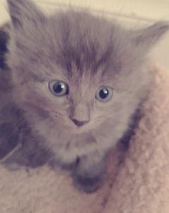 Grey fluffy kittes