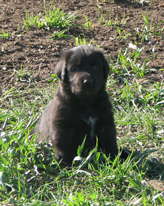 Bouvier Cross Puppies