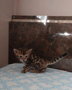 BEAUTIFUL BENGAL KITTENS FOR SALE!