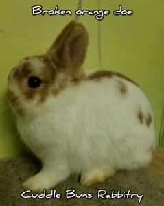 Purebred Netherland Dwarf rabbits looking for forever homes