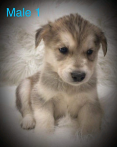 Goberian Puppies For sale
