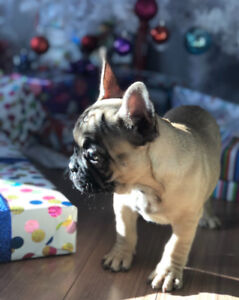 French Bulldog Puppies! Ready to leave Saturday