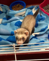 Baby Ferrets, 1 boy and 1 girl