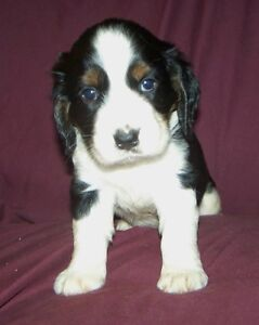 ENGLISH SPRINGER SPANIEL PUP PUPS TRI COLOUR home raised w/LOVE