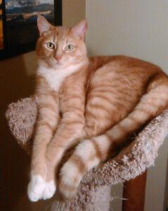 chat perdu cat lost repentigny montreal verdun