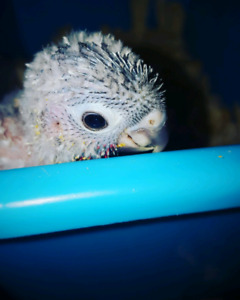 Hand fed baby Green cheek yellow sided conures