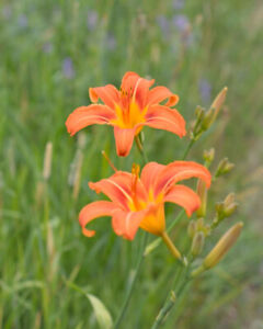 Tiger Lillies for Sale