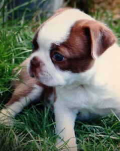 CKC reg Boston Terrier puppies. Due in Nov