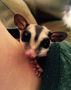 2 Year Old Female Sugar Gliders w/ Beautiful Cage, Food and More