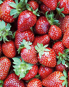 Strawberry Plants - Grow Your Own!!