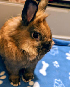 Male Dwarf Lionhead Rabbit/Bunny w/ cage and all accessories