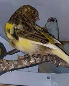 Canari gloster femelle