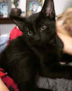 2 FREE black kittens