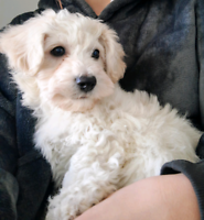 Bichon Frise Puppy Available!