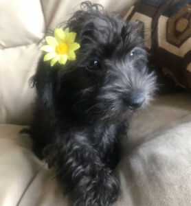 Only 1 left! Small schnoodles ( schnauzer/poodle)