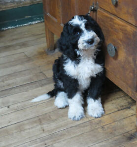 Beautiful Bernedoodles ready now.