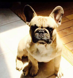 Looking for a specific French bulldog