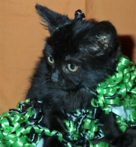 Little Black Female Kitten