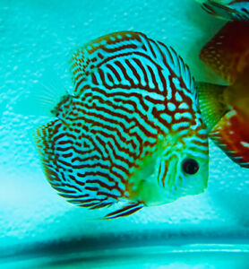 Quality Discus and RT Juveniles available