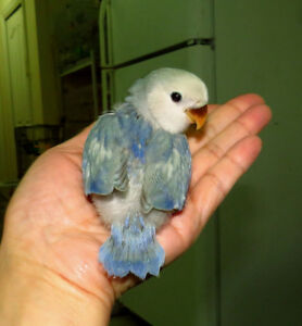 handfed lovebird baby BOY (whiteface silver)==ON HOLD
