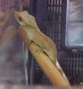 Baby Crested Gecko PIPER Kingston Kingston Area image 1