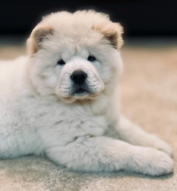 White female chow chow kc reg.