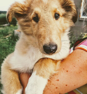 Pure Bred CKC Registered Rough Collie Pup Puppies Puppy