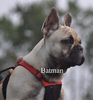 FRENCH BULLDOG-MALE
