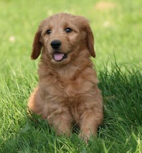 Goldendoodle puppies  F1B Non Shedding Hypoallergenic